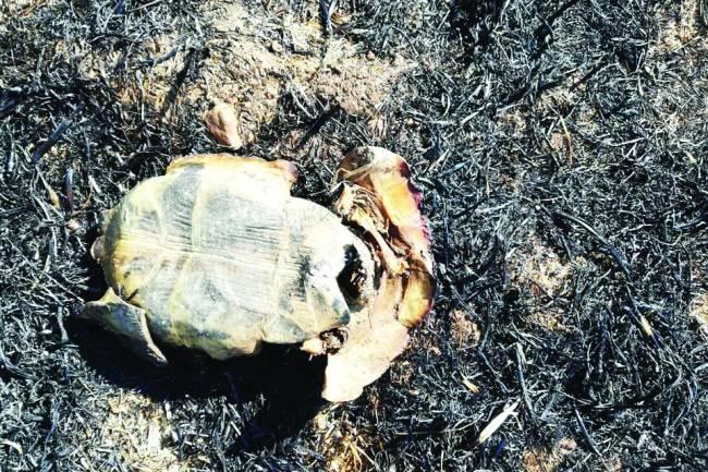 Kaplumbağalar da yanarak can verdi