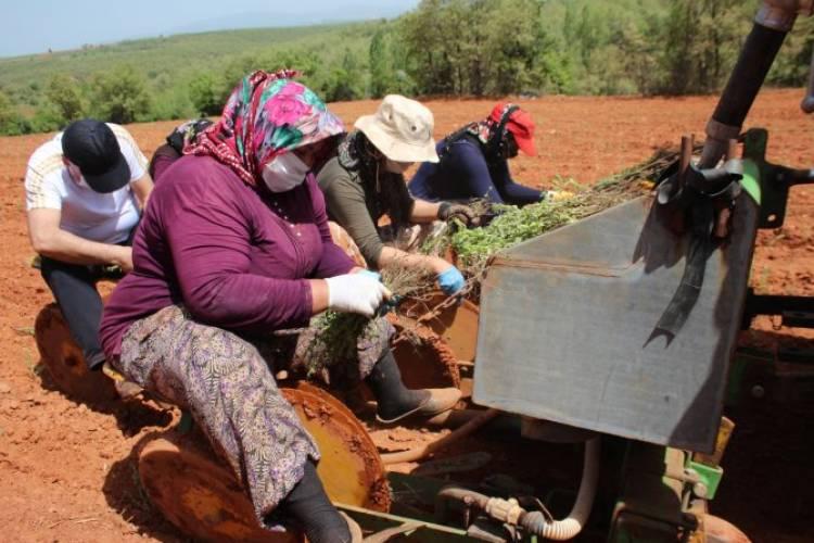 Beyşehir kekik üretimine yöneldi